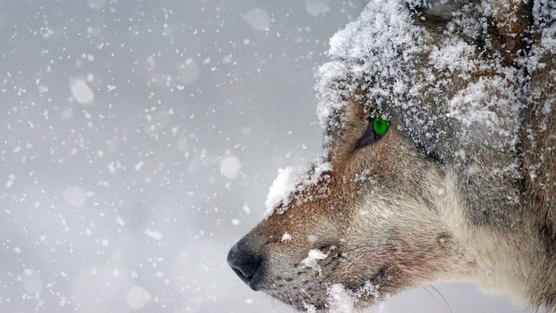 Nech se sežrat vlastním vlkem